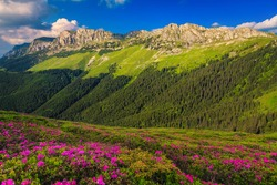 Beautiful summer nature landscape, spectacular colorful pink rhododendron mountain flowers on the hills in Bucegi mountains, Carpathians, Transylvania, Romania, Europe