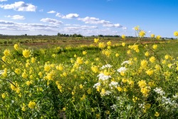 Beautiful summer rural landscape with a field, flowering meadow and yellow rapeseed flowers close-up in the foreground, soft focus.
