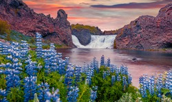 Beautiful summer scenery. Wonderful summer view of Hjalparfoss Waterfall. Attractive sunrise on Iceland, Europe. Nice outdoor scene on smzll lake with blooming lupine flowers.