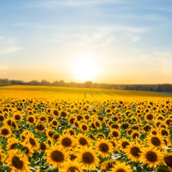 beautiful summer sunflower field at the sunset, natural agriculture background