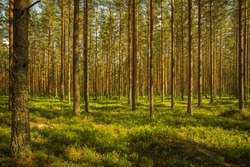 Beautiful summer view of a well cared and lush green pine forest in Sweden, with green blueberry sprigs covering the forest floor and sunlight shining through the branches