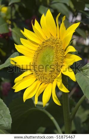 stock-photo-beautiful-sun-flower-plants-51875467.jpg