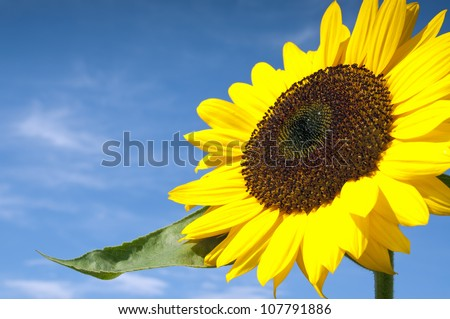 Beautiful Sunflower Against The Blue Sky