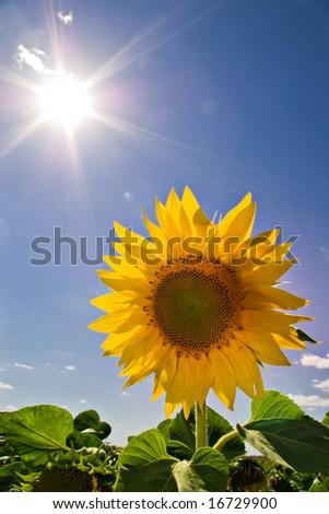 beautiful sunflower and sun on blue sky