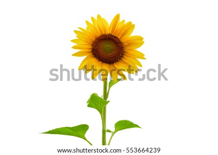 Beautiful sunflower as isolated background
