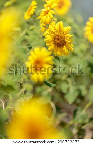 Beautiful sunflower farm background ,foreground sunflower yellow flower bloomed on summer landscape ,fresh and bright have sunny effect have shadow on sunflower
