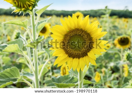 beautiful sunflower field #198970118