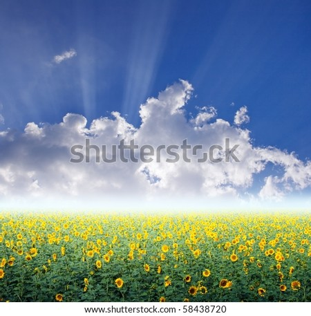 beautiful sunflower field and blue sky stock photo 58438720