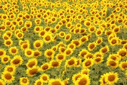 Beautiful sunflower field for  background.