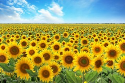 Beautiful sunflower field under blue sky with clouds