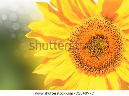 Beautiful sunflower in a sunny summer day