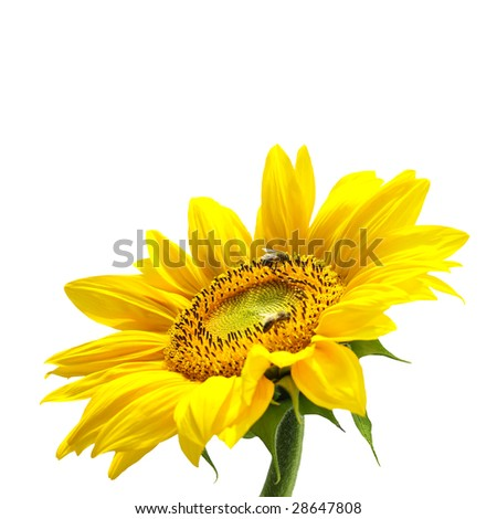Beautiful sunflower (isolated)