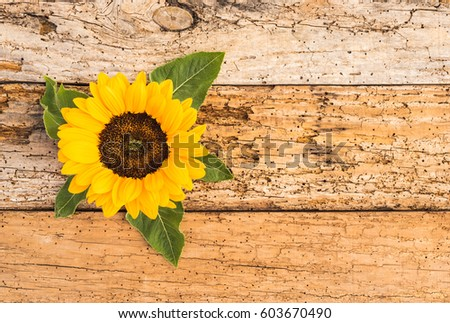 Beautiful Sunflower On Rustic Wood Background For Birthday Card Or Mothers Day 603670490