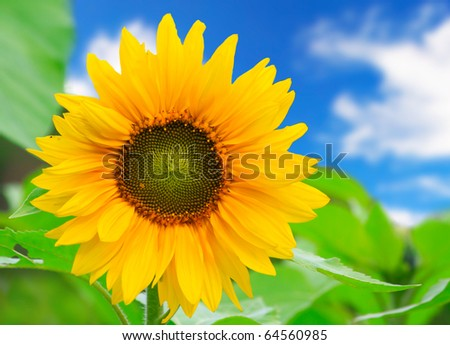 beautiful sunflower with
