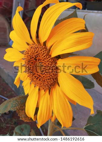 beautiful sunflower with vibrant color #1486192616