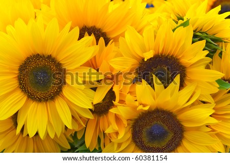 Beautiful sunflowers as background
