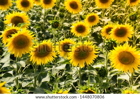 beautiful sunflowers bloom in the field.  close-up #1448070806