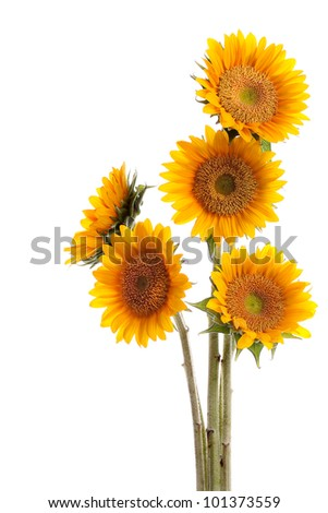 beautiful sunflowers bouquet isolated on white background with copyspace