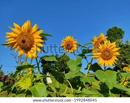 Beautiful sunflowers decorated with a bright blue sky