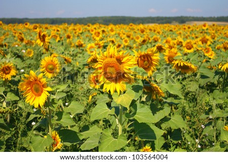 Beautiful sunflowers field. Shallow DOF.