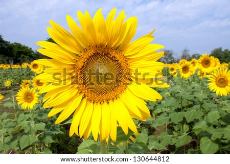 Beautiful sunflowers in Thailand