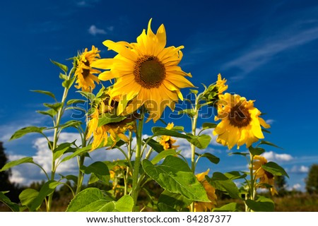 Beautiful sunflowers in the field against blue sky