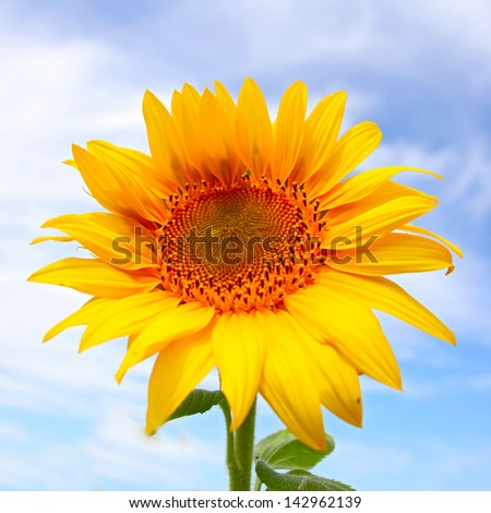 Beautiful sunflowers in the field with bright blue sky with clouds