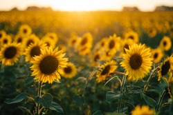 beautiful sunflowers in the sunset