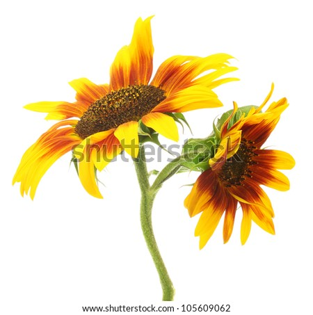 beautiful sunflowers , isolated on white