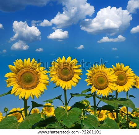 beautiful sunflowers on a blue sky background