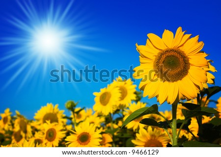 beautiful sunflowers with blue sky and sunburst stock photo 9466129