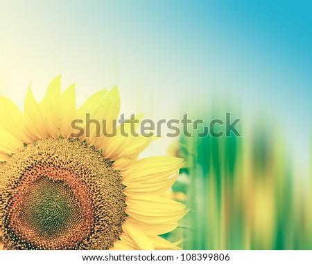 beautiful sunflowers with blue sky  Image