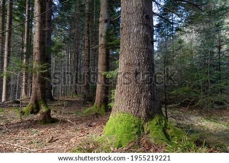 Beautiful Sunlit silver fir Forest. Natural mountain coniferous fir (European silver fir) forest of the Carpathians.
