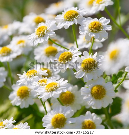 Beautiful sunny chamomile flowers close-up