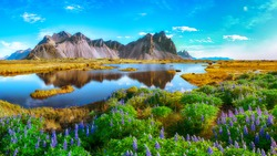Beautiful sunny day and lupine flowers on Stokksnes cape in Iceland. Location: Stokksnes cape, Vestrahorn (Batman Mount), Iceland, Europe.