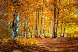 Beautiful Sunny day in Autumnal forest, yellow orange trees. Real landscape of autumn