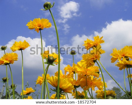 Beautiful sunny flowers (Coreopsis grandiflora) on blue sky background