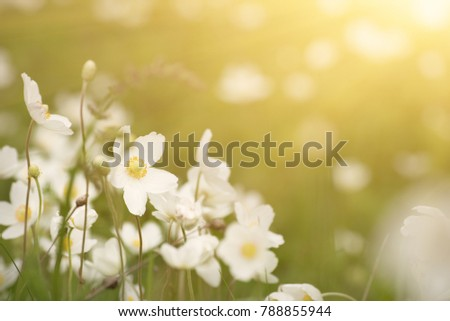 Beautiful sunny white anemona flowers growing on the meadow in spring time, natural outdoor seasonal soft background
