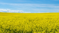 beautiful sunny yellow rapeseed field on a warm spring day with a clear blue sky