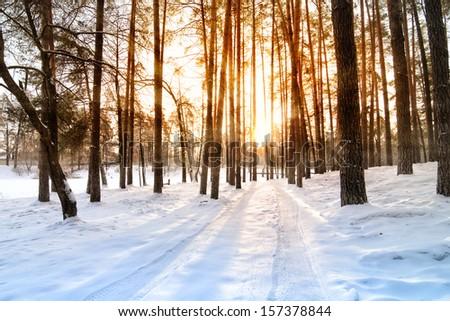 Beautiful sunrise in a winter pine forest