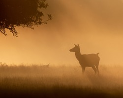 Beautiful sunrise morning, with silhouette wild deer, misty nature