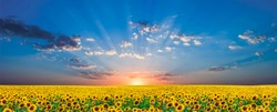 Beautiful sunrise on sunflower field