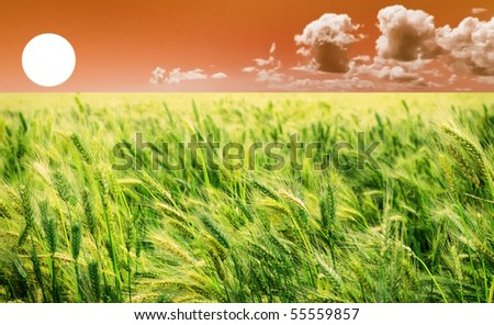 Beautiful sunrise over a green wheat field