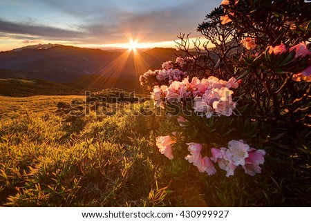 Beautiful sunrise scenery of Hehuan Mountain in central Taiwan in springtime, with lovely Alpine Azalea (Rhododendron) blossoms on grassy fields & sunrays shining through rosy clouds in the background