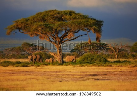 Beautiful sunrise with Elephants under a tree in Amboseli National Park Kenya