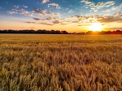 Beautiful sunset and field of wheat. Beautiful clouds and the sun.