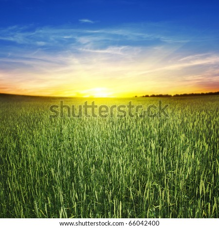 Beautiful sunset and wheat field.