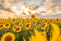beautiful sunset and yellow sunflowers field in spain with clouds