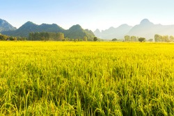 Beautiful sunset over golden rice fields with a background of mountain and bluesky
