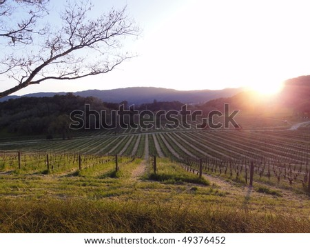 Beautiful sunset over the vineyard in Napa Valley, in Northern California